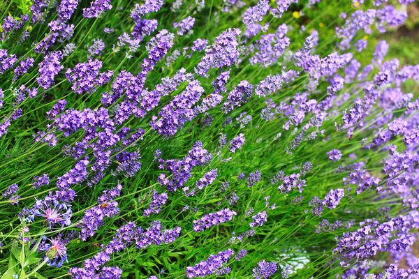 Many Uses of Lavender